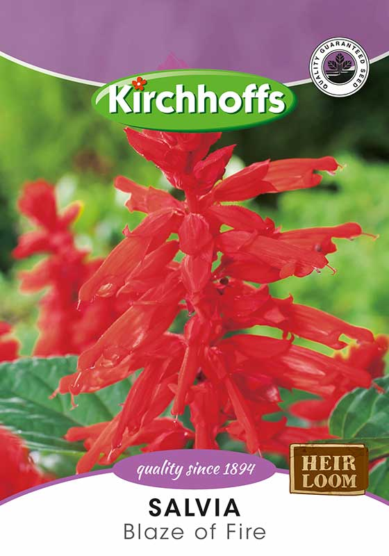 Kirchhoffs Salvia Splendens